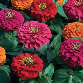 Magellan Persian Carpet Zinnia Flowers And Bulbs Veseys