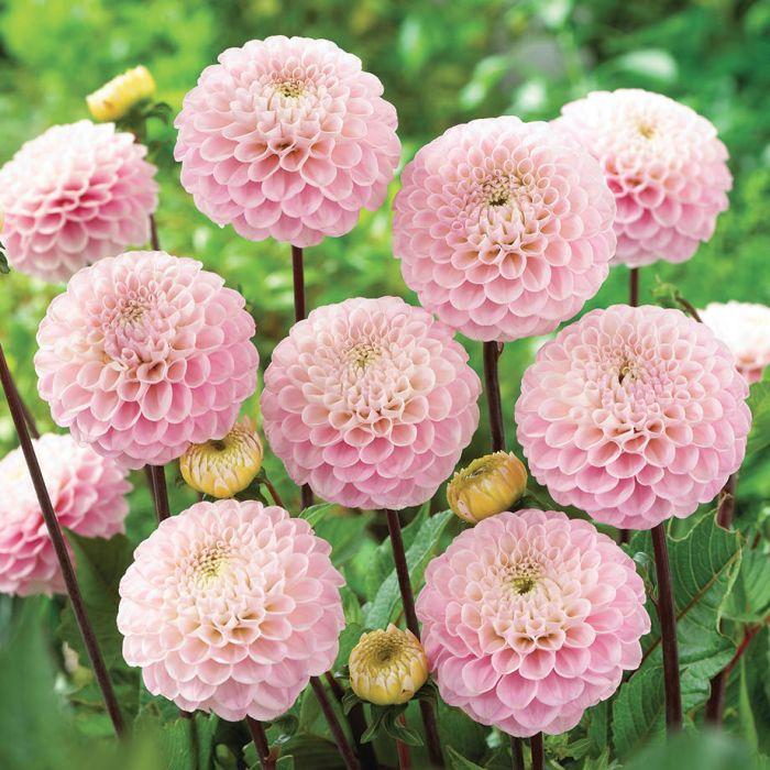 Wizard Of Oz Dahlia Flowers And Bulbs Veseys