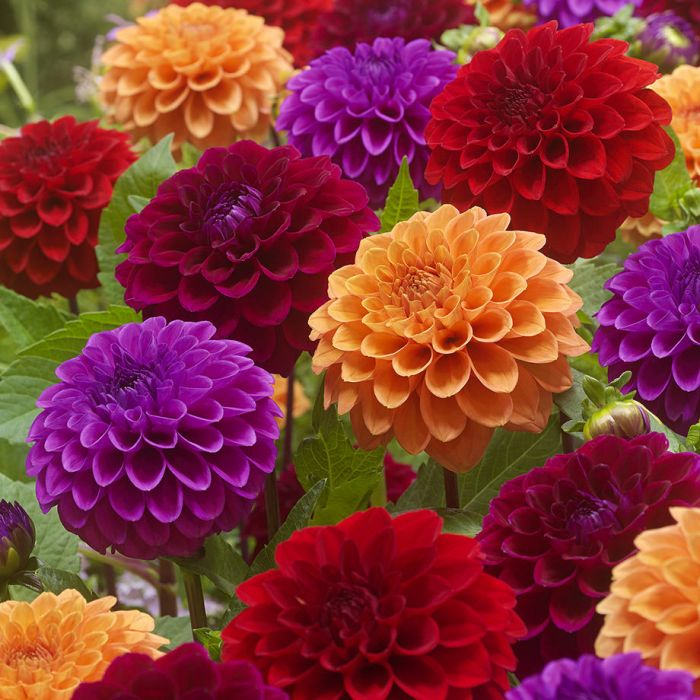 going to the ball dahlia mix flowers and bulbs veseys