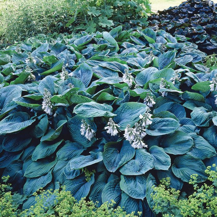 Bressingham Blue Hosta Flowers And Bulbs Veseys