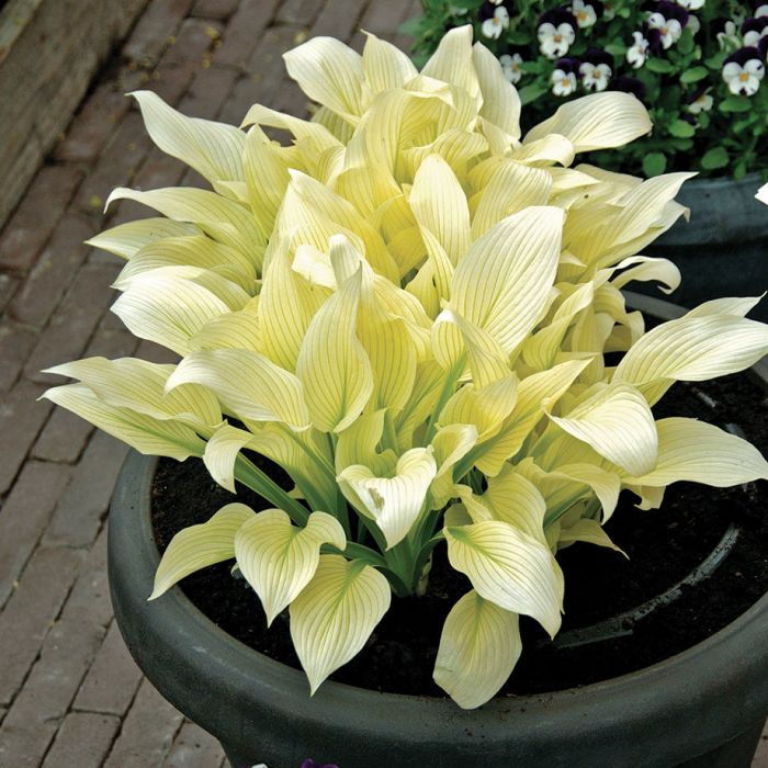 White feather hosta flowers and bulbs veseys details mightylinksfo