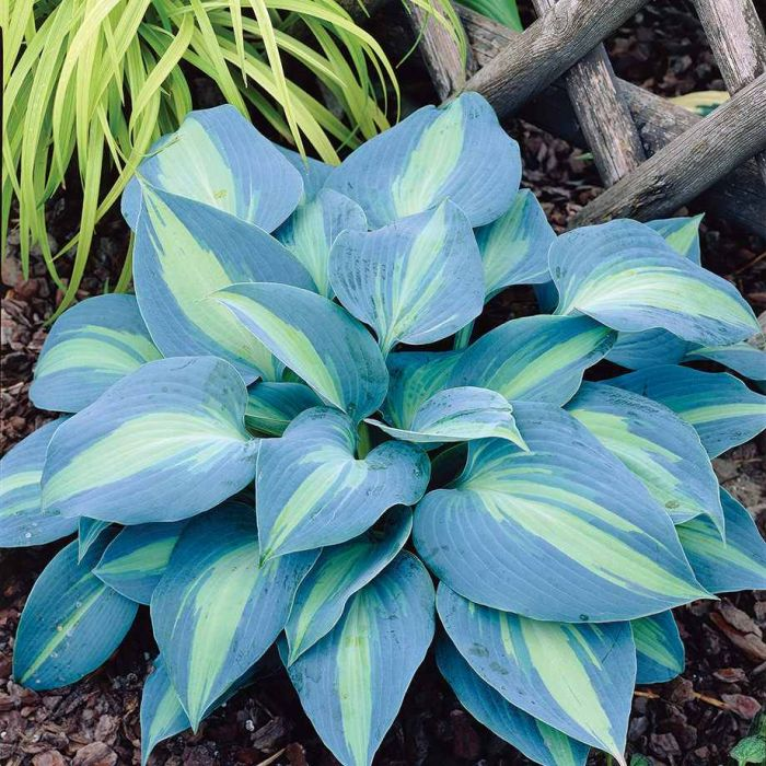 Touch Of Class Hosta Flowers And Bulbs Veseys