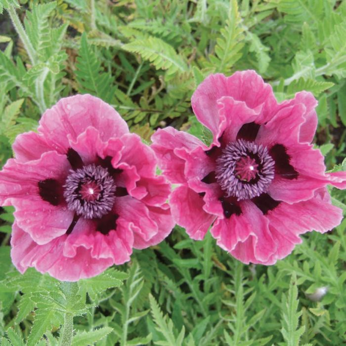 Central park oriental poppy pkg of 1 flowers and bulbs veseys central park oriental poppy pkg of 1 3 mightylinksfo