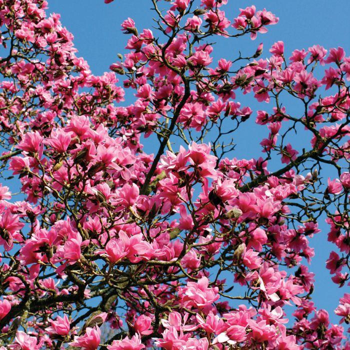 Ann Magnolia Flowers And Bulbs Veseys