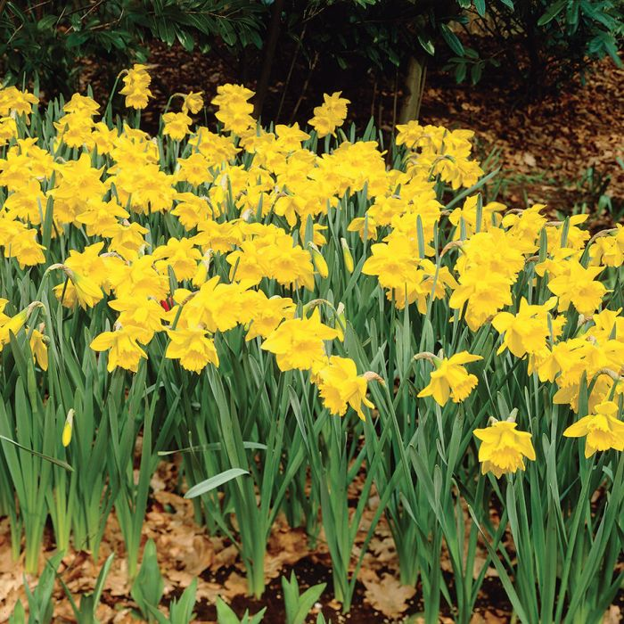 Giant yellow trumpet daffodil flowers and bulbs veseys details mightylinksfo