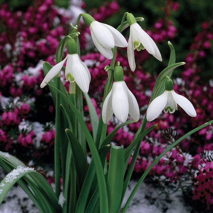 single white snowdrops flowers and bulbs veseys