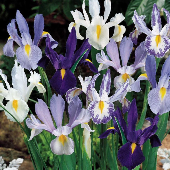 Blue White Dutch Iris Blend Flowers And Bulbs Veseys