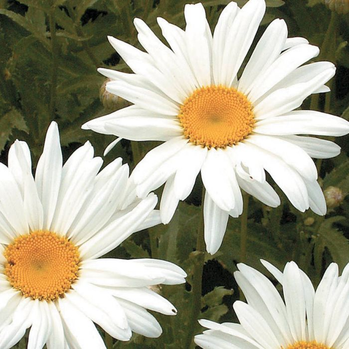 alaska shasta daisy flowers and bulbs veseys