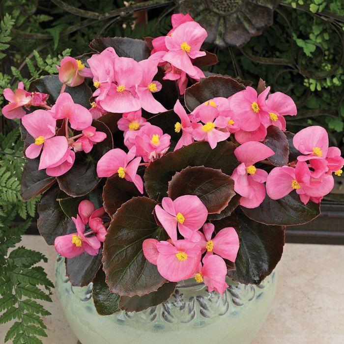 Bada boom pink begonia flower seeds veseys bada boom pink begonia 2 mightylinksfo