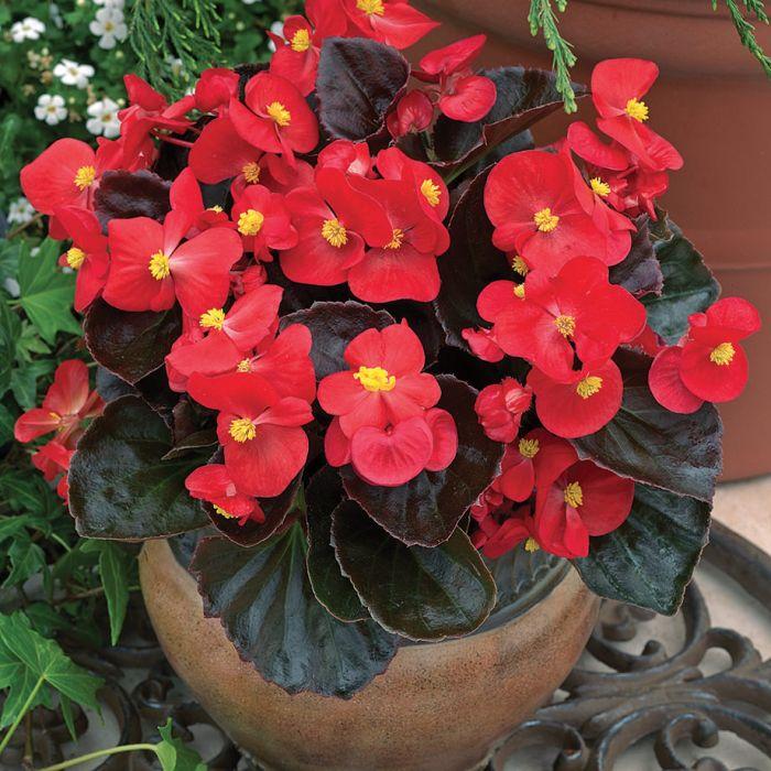 Bada Boom Scarlet Begonia Flowers And Bulbs Veseys
