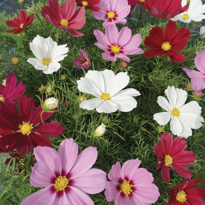 Casanova Mixed Cosmos Flowers And Bulbs Veseys