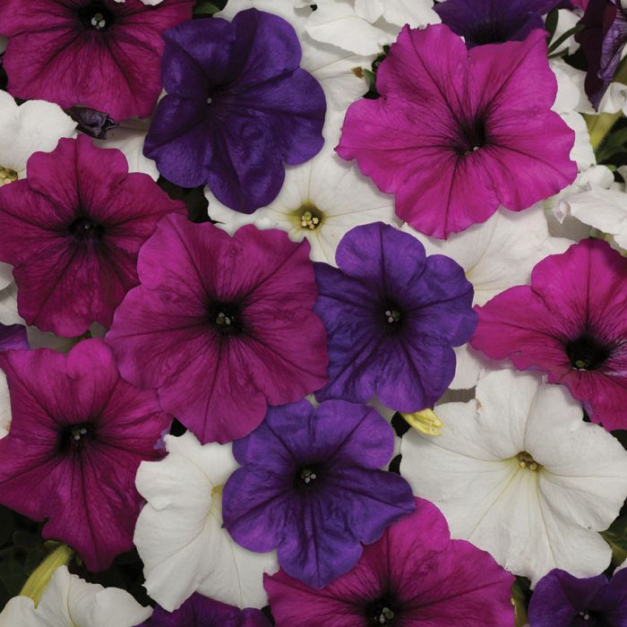 Easy Wave Great Lakes Mix Petunia Flower Seeds Veseys