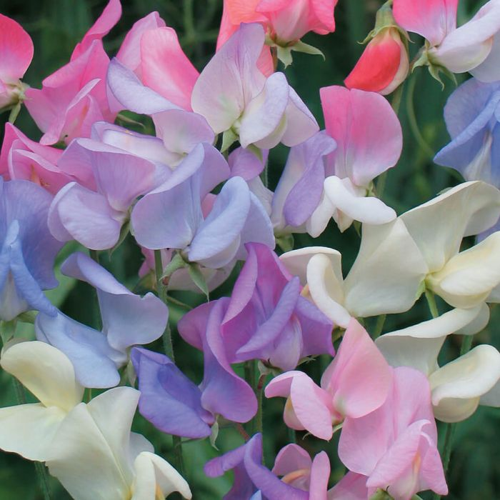 Elegant Ladies Sweet Pea Flowers And Bulbs Veseys