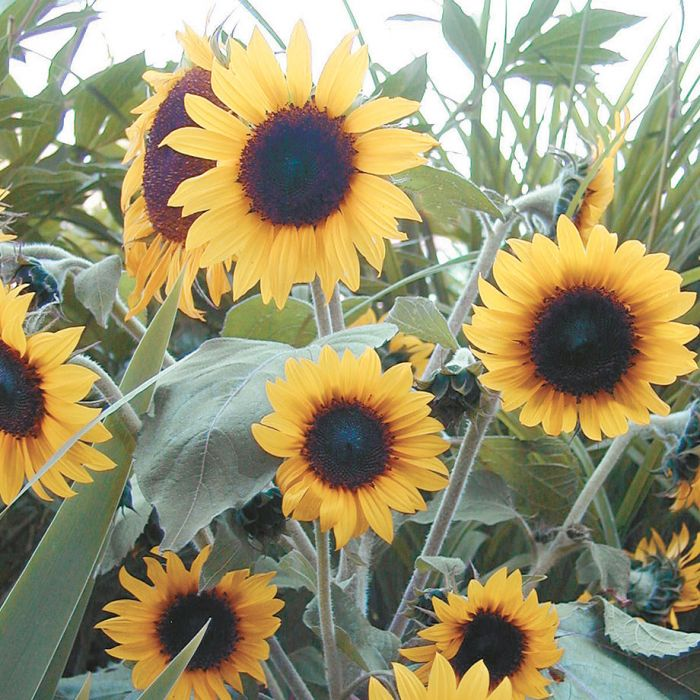 junior sunflower flower seeds veseys