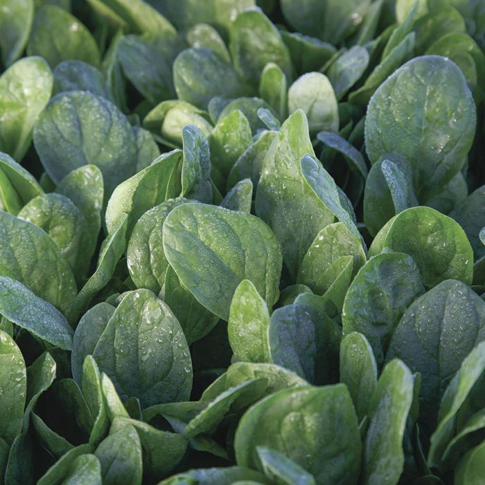 Lakeside Spinach