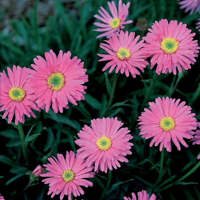 Pinkie aster flowers and bulbs veseys details mightylinksfo