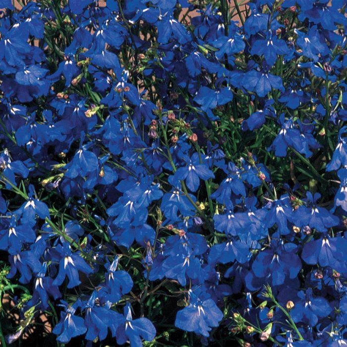Regatta Marine Trailing Lobelia Flower Seeds Veseys