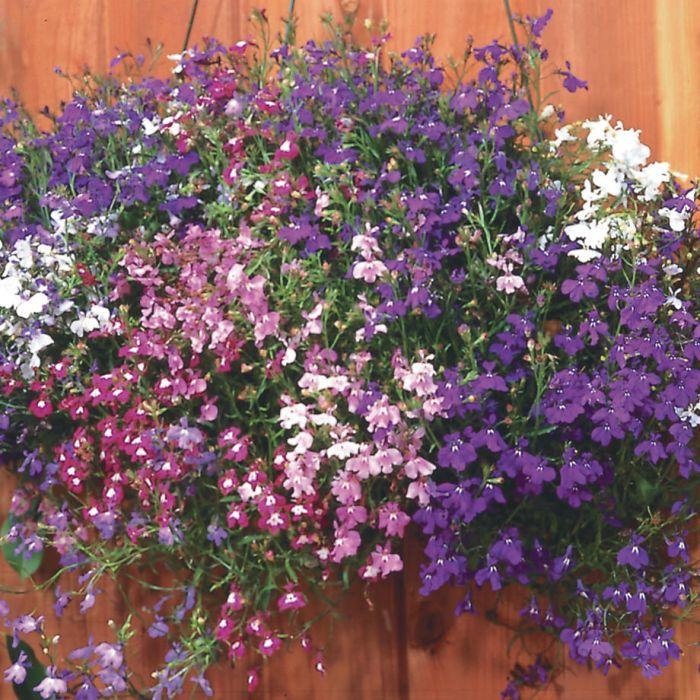 Regatta Mix Trailing Lobelia Flowers And Bulbs Veseys