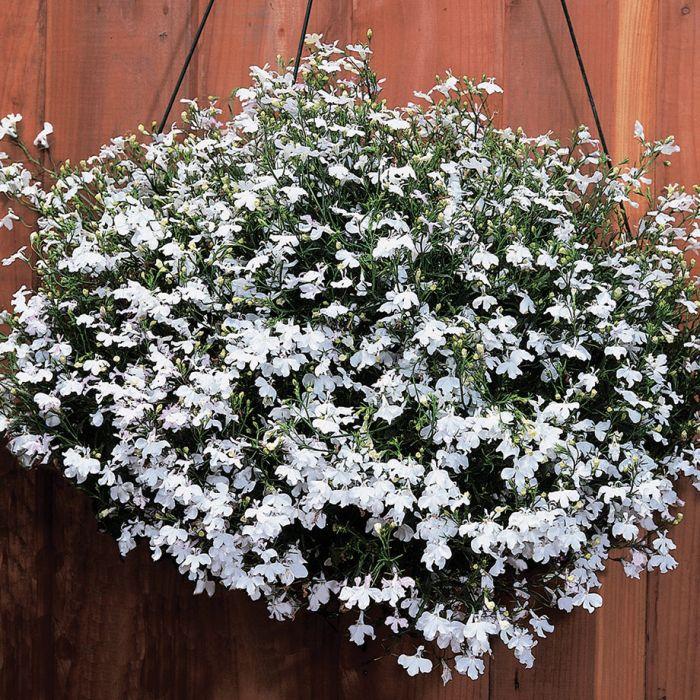 Regatta White Trailing Lobelia Flower Seeds Veseys