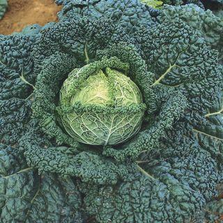 Wirosa Cabbage Thumbnail
