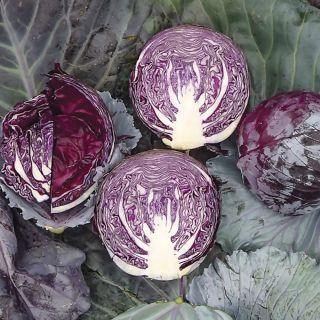 Kosaro Cabbage Thumbnail