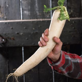 April Cross Chinese Radish Thumbnail