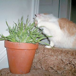 Cat Grass Thumbnail