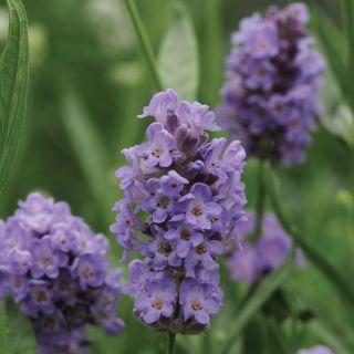 Lavender Thumbnail