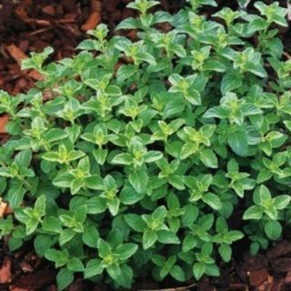 Greek Oregano Thumbnail