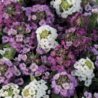 Clear Crystal White Alyssum Thumbnail