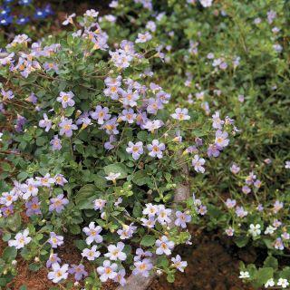Bluetopia Bacopa Thumbnail