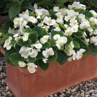 Bada Bing White Begonia Thumbnail
