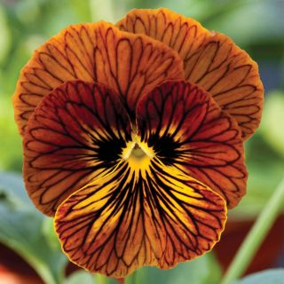 Tiger Eye Red Pansy Thumbnail