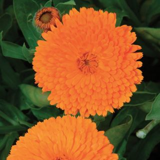 Candyman Orange Calendula Thumbnail