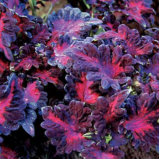 Black Dragon Coleus Thumbnail