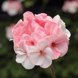 Pinto White to Rose Geranium Thumbnail