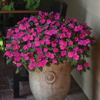Beacon Violet Shades Impatiens Thumbnail