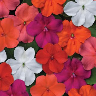 Beacon Select Mix Impatiens Thumbnail