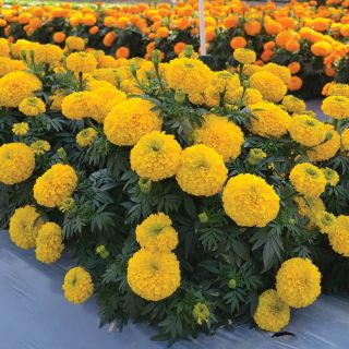 Big Duck Gold Marigold Thumbnail