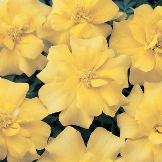 Durango Yellow Marigold Thumbnail