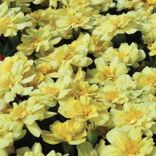 Alumia Vanilla Cream Marigold Thumbnail
