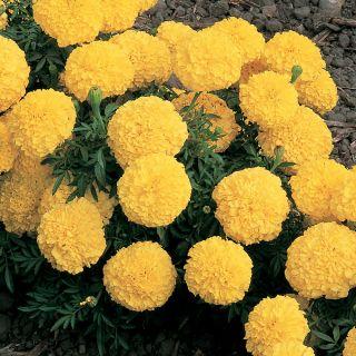 Inca 2 Yellow Marigold Thumbnail