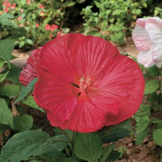 Luna Red Hibiscus Thumbnail