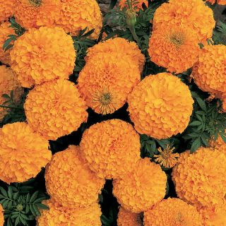 Inca 2 Orange Marigold Thumbnail