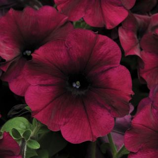 Easy Wave Burgundy Velour Petunia Thumbnail