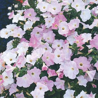 Misty Lilac Wave Petunia Thumbnail
