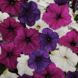 Easy Wave Great Lakes Mix Petunia Thumbnail