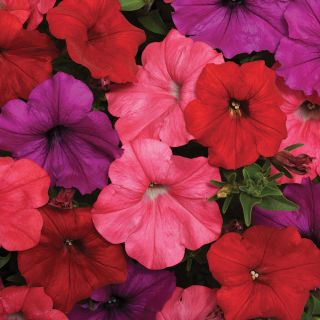 Easy Wave South Beach Mix Petunia Thumbnail