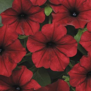 Tidal Wave Red Velour Petunia Thumbnail