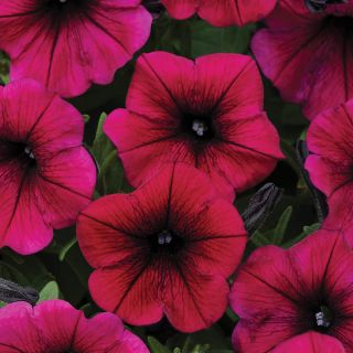 Shock Wave Deep Purple Petunia Thumbnail